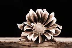 A monotone Gerber Daisy on a wooden shelf