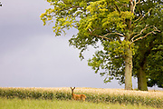 Lone Roe deer by a wheat field in Leafield, Oxfordshire, England, United Kingdom