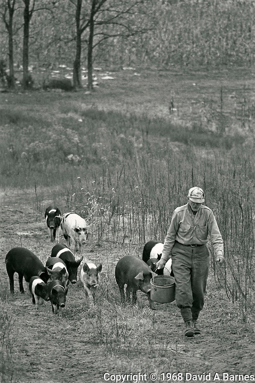 Farmer leading hogs to feed, Ozarks, Missouri, USA