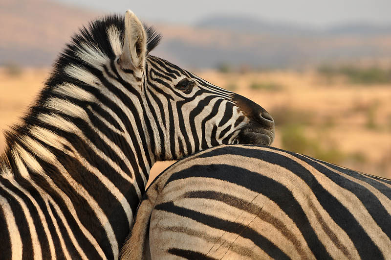 The sun was setting over Pilanesberg when we saw the Burchell's Zebra. As the young foal nuzzled her mother, telltale signs of a close encounter with a large predator became apparent. The claw marks on the mare's rump and foal's hind legs suggest that the mother had fiercely protected her foal. A zebra's best defense from predators is its hind legs -- a direct kick from a zebra can have devastating effects.