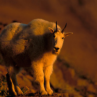 Mountain goat in the glow of forest fire sunset. Glacier National Park, Montana.