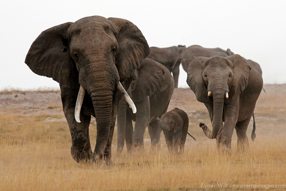 Africa, Kenya, Amboseli. Matriarch elephant and family approaching head on.