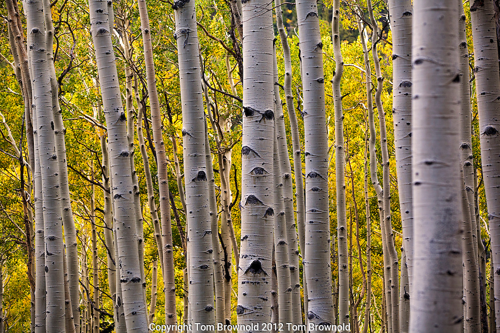 The Aspens trees on the San Francisco Peaks in full autumn color