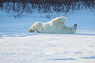 01874-13520 Polar Bear (Ursus maritimus) lying on back, Churchill Wildlife Management Area, Churchill, MB