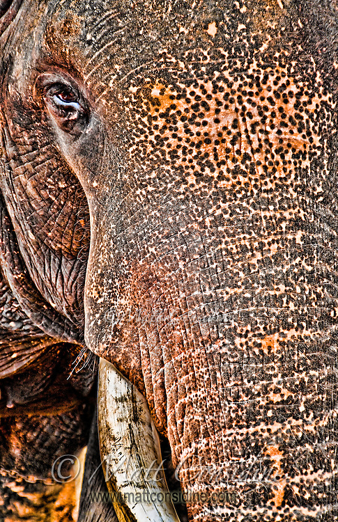 This old bull elephant is used to humans but is still half wild and quite dangerous.<br /> (Photo by Matt Considine - Images of Asia Collection)