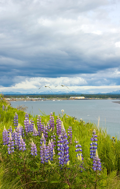 The Kenai river bluff, in Kenai, AK, is an excellent spot to watch for birds, beluga whales, commercial fishing boats, and dip netters,fisherman and other wildlife and see the active volcanoes of the Alaska range.