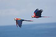 Scarlet macaws, Osa Peninsula, Costa Rica.