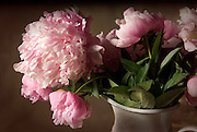Macro still life of Pink Peony in metal vase