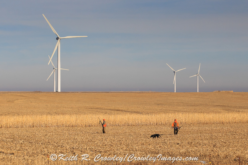 Pheasants Hunting Near A Wind Farm in Eastern South Dakota