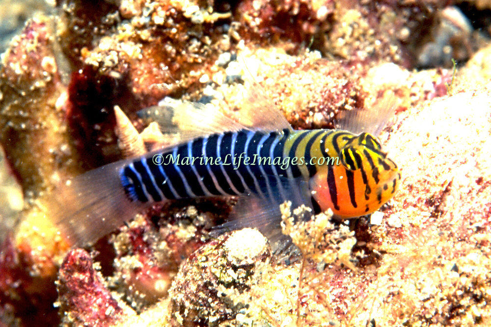 Blackringed Goby perch on bottom in areas of rubble and algae, often near reefs in Venzuela and Trinidad; picture taken Venezuela.