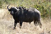 Tanzania wildlife safari African Buffalo AKA Cape Buffalo (Syncerus caffer)