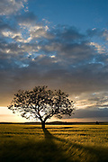 Tree in wheat field at sunset, Burgundy, France