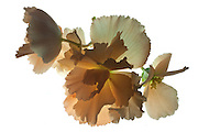 This is one of my early attempts to photograph flowers on a light box. These are salmon colored begonias.