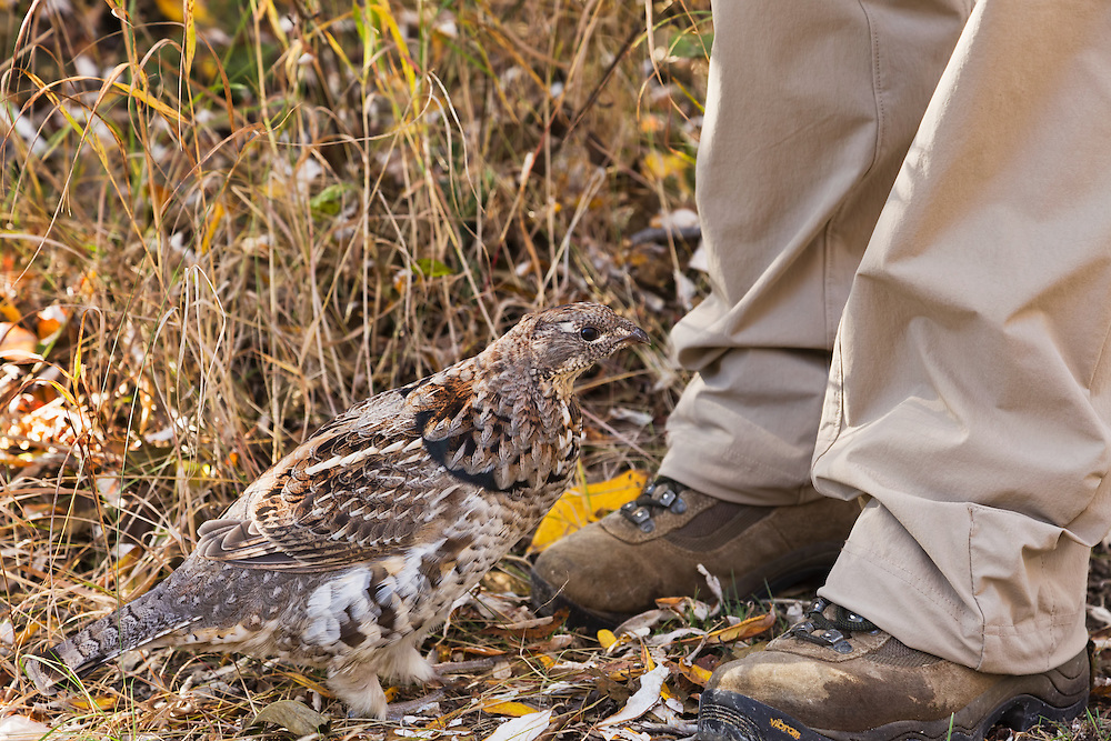 A curious ruffed grouse (Bonasa umbellus) wanders around the feet of a hiker in Kantishna in Denali National Park in Southcentral Alaska. Fall. Afternoon.