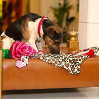London feb 14  Dog's  Special Valentine day at Harrods  with  newly launched first organic  gourmet food by Lily's kitchen featured a special valenttine bowl and presents and a £ 3995 dogs bed...Standard Licence feee's apply  to all image usage.Marco Secchi - Xianpix tel +44 (0) 845 050 6211 .e-mail ms@msecchi.com .http://www.marcosecchi.com