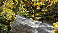 Just downstream from Whatcom Falls, Whatcom Creek flows past some Vine Maples (Acer circinatum) in full Fall colors.