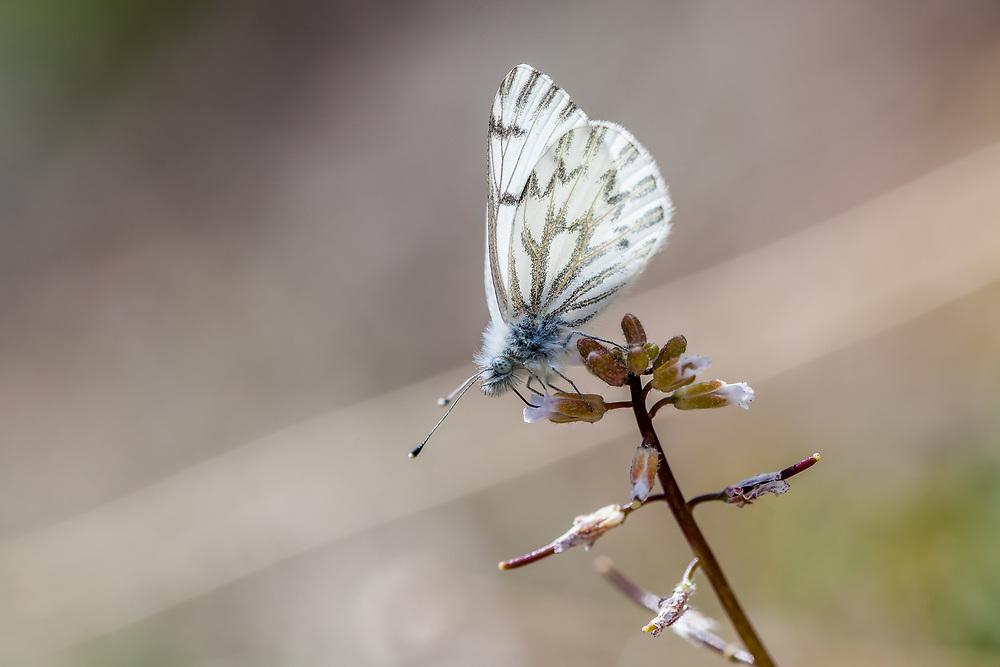 Pontia s. sisymbrii (Spring White) at Bald Mountain, Tulare Co, CA, USA, on 07-Jun-15