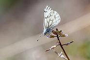 Pontia s. sisymbrii - Spring White