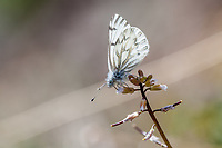 Pontia s. sisymbrii (Spring White) at Bald Mountain, Tulare Co, CA, USA, on 07-Jun-15