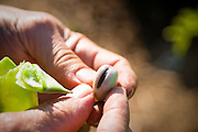 Organic fava bean grown by Tim Lanfri, Master Gardener, Oregon