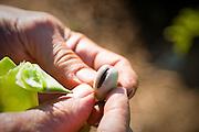 Organic fava bean grown by Tim Lanfri, Master Gardener, Oregon