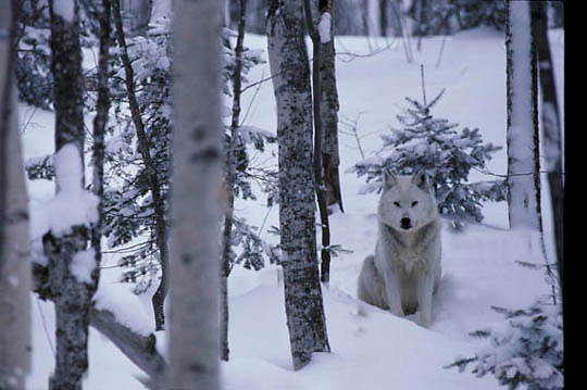 Gray Wolf, (Canis lupus) Alpha male sitting in trail in timber. Mid winter. Captive Animal.
