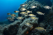 Salema porgy-Saupe (Sarpa salpa) of Mediterranean sea.
