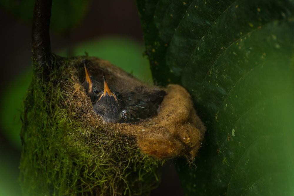 Three chicks of a Hummingbird sit in their nest, hidden and protected against the elements by a big leaf, Santa Lucia Cloud Forest, Ecuador.