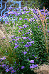 Aster × frikartii with Stipa tenuissima at Pettifers