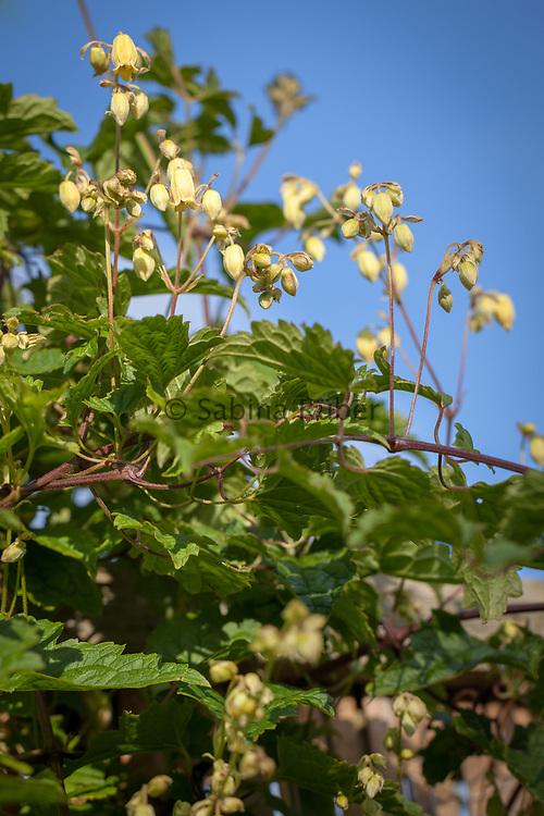Clematis rehderiana - nodding virgin's bower