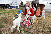 Emma, left, and Ruth Millsap hand feed the family's new lambs as Reuben Millsap looks around in their pen on Friday, November 18, 2016.