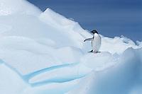 Adélie Penguin (Pygoscelis adeliae) on glacier