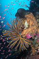 Feather Star and Anthias on a reef wall<br /> <br /> Shot in Indonesia