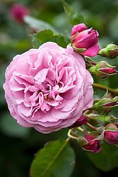 Rosa 'Magenta'