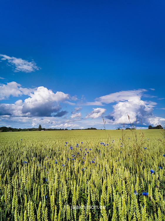 Cornfield in Estonia. Rye, agriculture, blue sky.