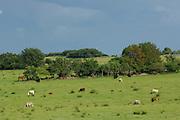 Mutterkuh mit Kälbern und Pferde in der Halboffenen Weidelandschaft oder Hudelandschaft in Crawinkel.
