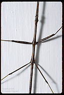 Walking stick insect lacks camouflage as it crosses a white porch beam in St. Louis, Missouri.
