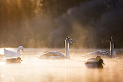 © Licensed to London News Pictures. 29/11/2016. Leeds UK. Picture shows swans on the lake at Golden Acre park in Leeds this morning on a bright but freezing start to the day. Photo credit: Andrew McCaren/LNP