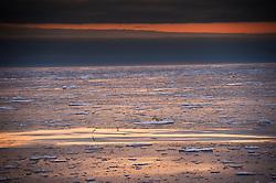 Polar bear (Ursus maritimus) on thin driftig ice north of Svalbard