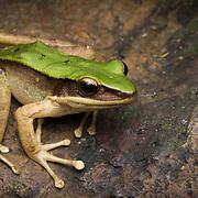Hose's Frog (Odorrana hosii) (in situ) in Lam Nam Kra Buri national marine park, Thailand
