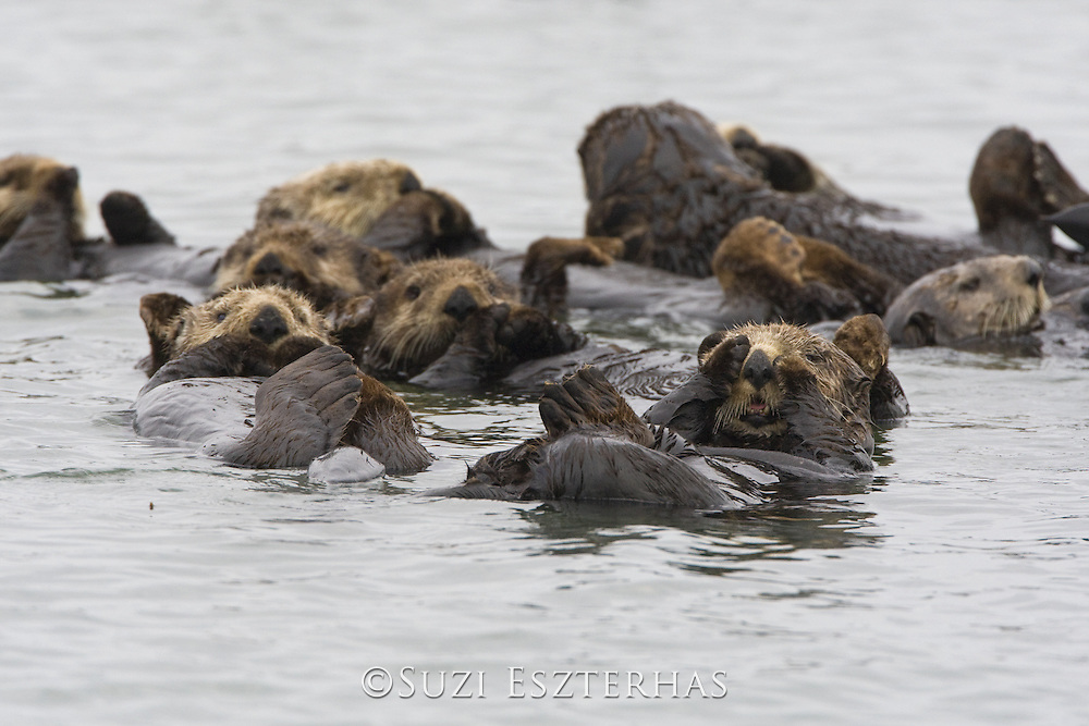 Southern Sea Otter<br /> Enhydra lutris<br /> Monterey, CA, USA