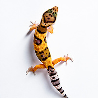 Juvenile high-yellow morph leopard gecko female on white backdrop