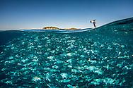 Over under shot of trevally fish feeding near the surface: Pseudocaranx georgianus.  Mokohinau islands. The lone bird is a Fairy Prion, (Pachyptila turtur) Hauraki Gulf. New Zealand