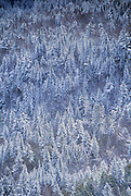 Hill side of pine trees covered in snow.