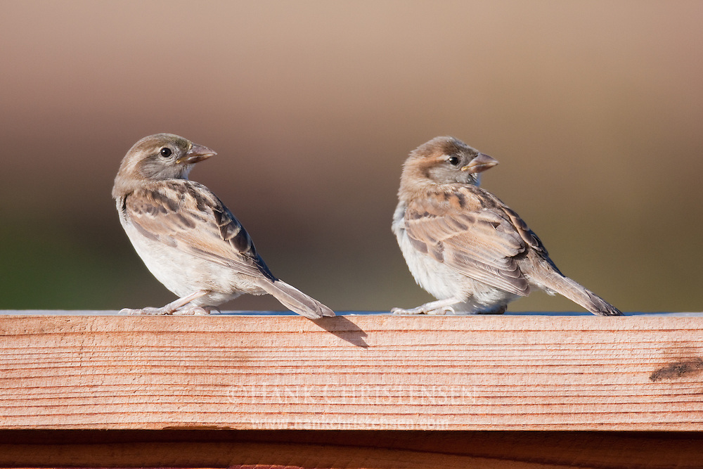 Two song sparrows perch on a fence in late evening light.