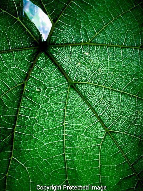 "America, Latin America, Mexico, Baja California, Ensenada. Close up of the leaf of the  vide with foliage of summer. In the last ten years the culture of wine has had a boom in Mexico.  In an area known as ""The Route of the Wine"" several wineries produce part of the finest wines of Mexico, this wines have had a good reception in the international scene of the wine.  - 25.05.2005, DIGITAL PHOTO, 48 MB, copyright: AlexEspinosa/Gruppe28."