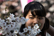 A women look at the cherry blossoms in full bloom at Nakameguro in Tokyo on April 3rd. The cherry blossom season in Japan kicks off boozy parties across the country and draws tourists from far and wide. 03/04/2017-Tokyo, JAPAN
