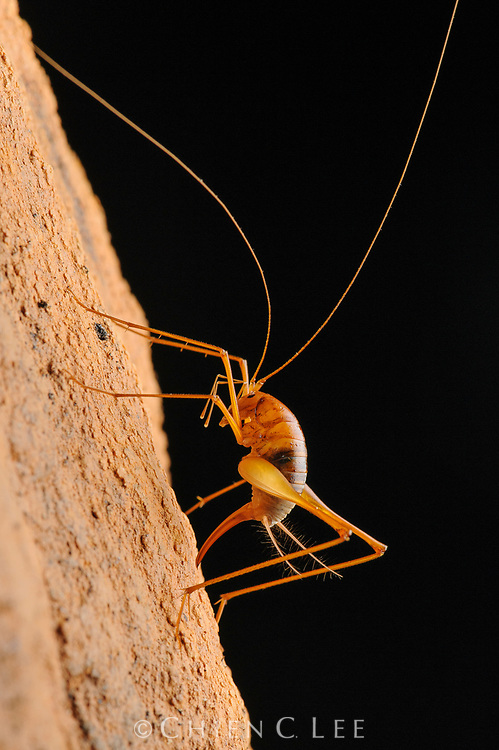 A female cave cricket (Diestrammena sp.) pushes her ovipositor into the spongy surface of the limestone cave wall where she will lay her eggs. Sarawak, Malaysia.
