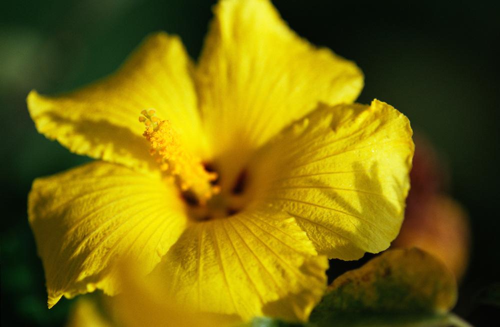 Hawaii, Kauai, Ma`o Hau Hele, Hawaii State Flower, Hibiscus brackenridgei A. Gray, Yellow Hibiscus, endangered in native habitat