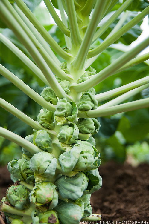 Brussel Sprout are a winter vegetable.